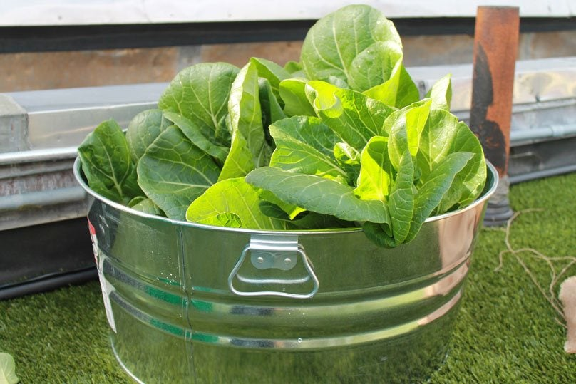 A metal bucket containing lettuce