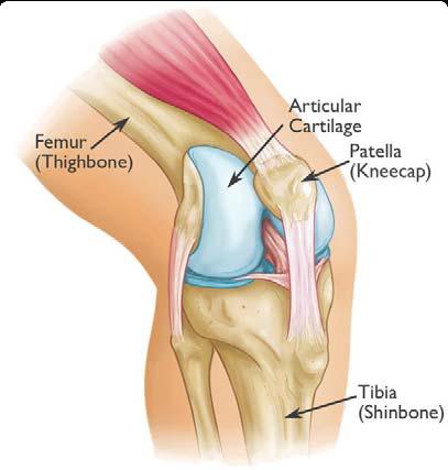 Kneecap Anatomy